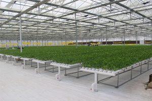 NFT lettuce hydroponic system