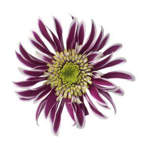 RVZ_chrysant_Saba_bloem