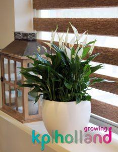 Spathiphyllum KP Holland1