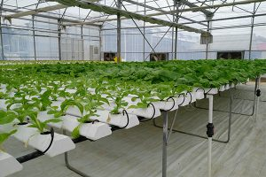 6. NFT hydroponics