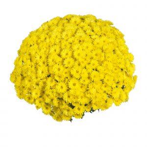 65007_Sing Yellow (AG Yellow)_17887