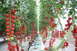 7. Tomato hydroponics system
