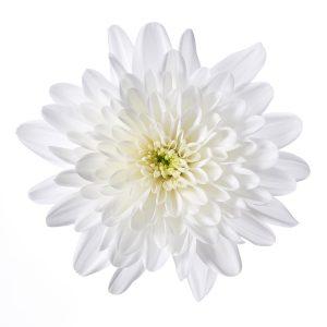 RVZ_chrysant_Bonita_bloem