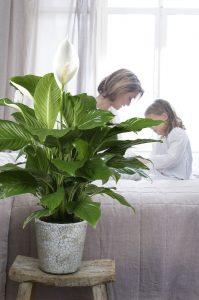 Sfeerfoto Spathiphyllum (68)